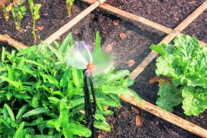 automated irrigation sprinkler in square foot garden