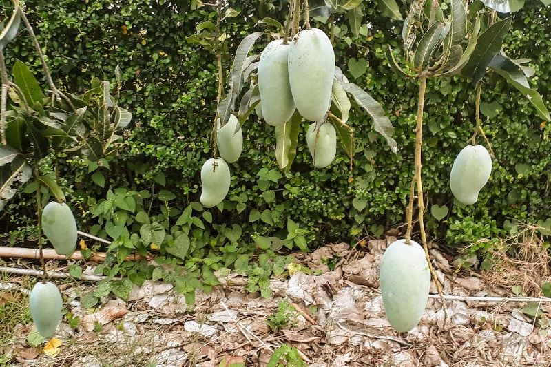 mangoes growing in a tree