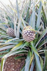 densely planted pineapple farm