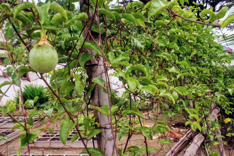 passionfruit growing on a trellis